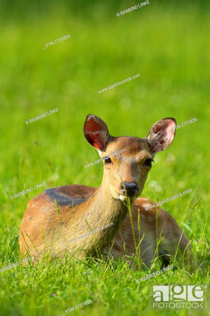 Imagen: Sika Deer, Cervus nippon, lying in meadow.