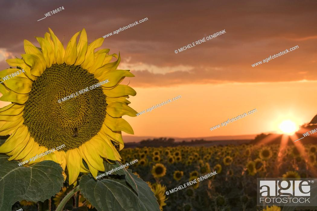 Stock Photo: Sunset over Sunflower field blooming near lavender fields during summer in Valensole plain of Provence France.