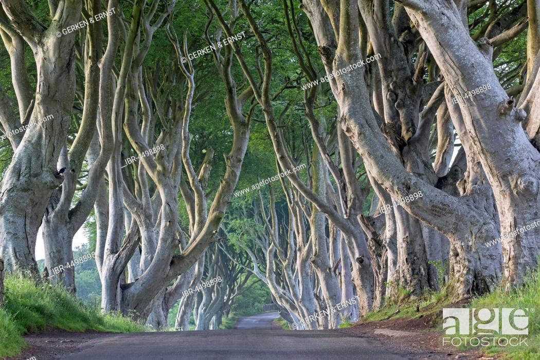 Stock Photo: Beech tree avenue, The Dark Hedges, Ballymoney, County Antrim, Northern Ireland, United Kingdom.