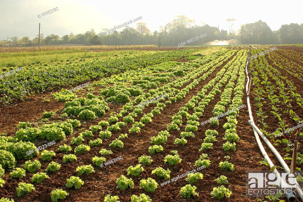 Stock Photo: Lettuce, plantations, agriculture, Brazil.