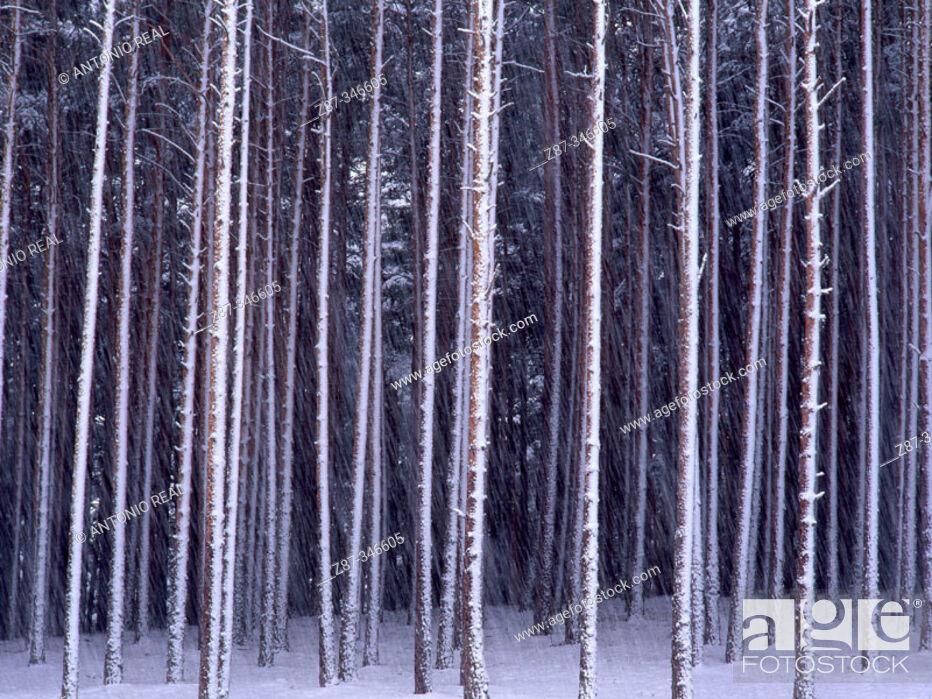 Stock Photo: Scots Pine (Pinus sylvestris) Hoyos del Espino. Sierra de Gredos. Avila province. Spain.