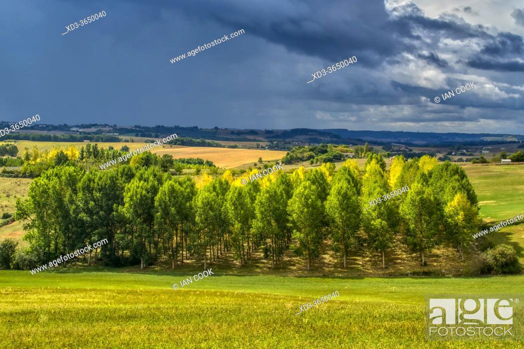 Stock Photo: poplar grove near Montastruc, Lot-et-Garonne Department, Nouvelle-Aquitaine, France.