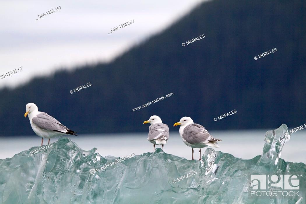 Stock Photo: Alaska , Inside passage , Tracy Arm , Glaucous-winged Gull Larus glaucescens  on a piece of ice Order  : Charadriiformes Family : Laridae.