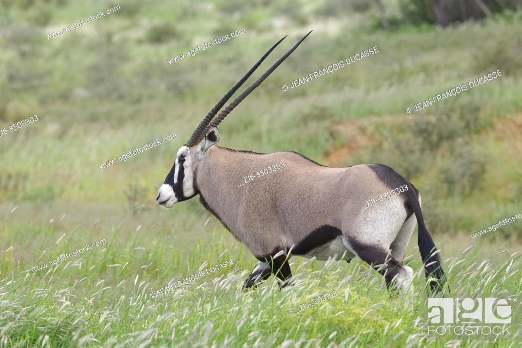 Stock Photo: Gemsbok (Oryx gazella), adult male, walking in the tall grass, Kgalagadi Transfrontier Park, Northern Cape, South Africa, Africa.