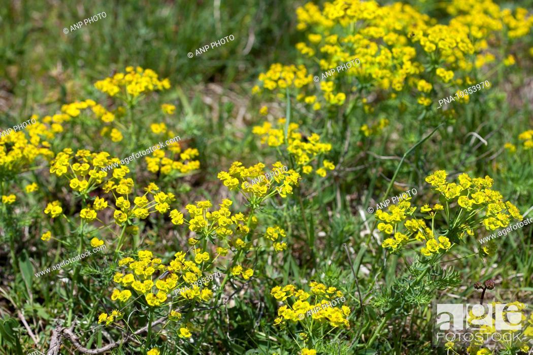 Stock Photo: Cypress Spurge Euphorbia cyparissias - Roºbach Witzenhausen, Werra-Meiºner, Hesse, Hessen, Germany, Europe.