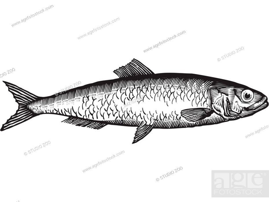Stock Photo: A black and white drawing of a herring.