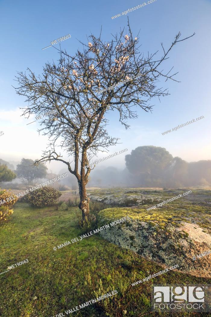 Stock Photo: Almond tree at the foggy Piquillo's pinewood in winter time. Madrid. Spain. Europe.