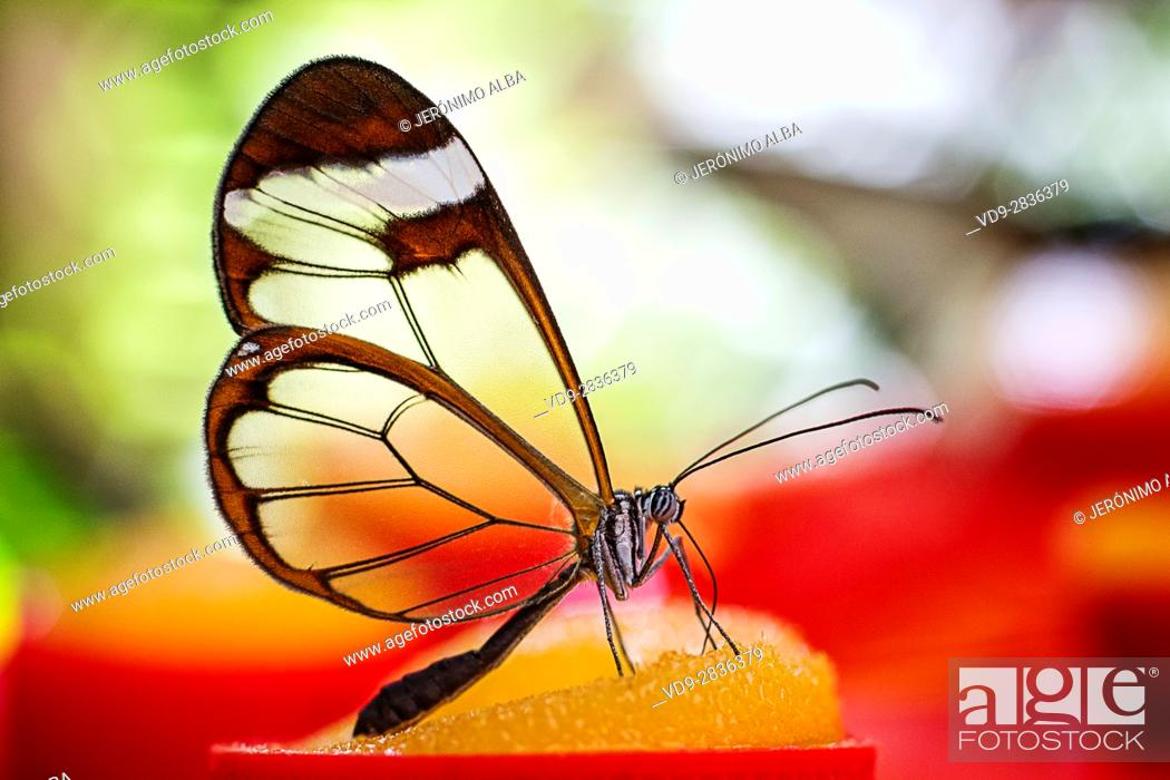 Stock Photo: Greta oto butterfly. Glass butterfly or mirrors butterfly, transparent wings. Benalmadena Butterfly Park, Costa del Sol, Malaga, Spain Europe.