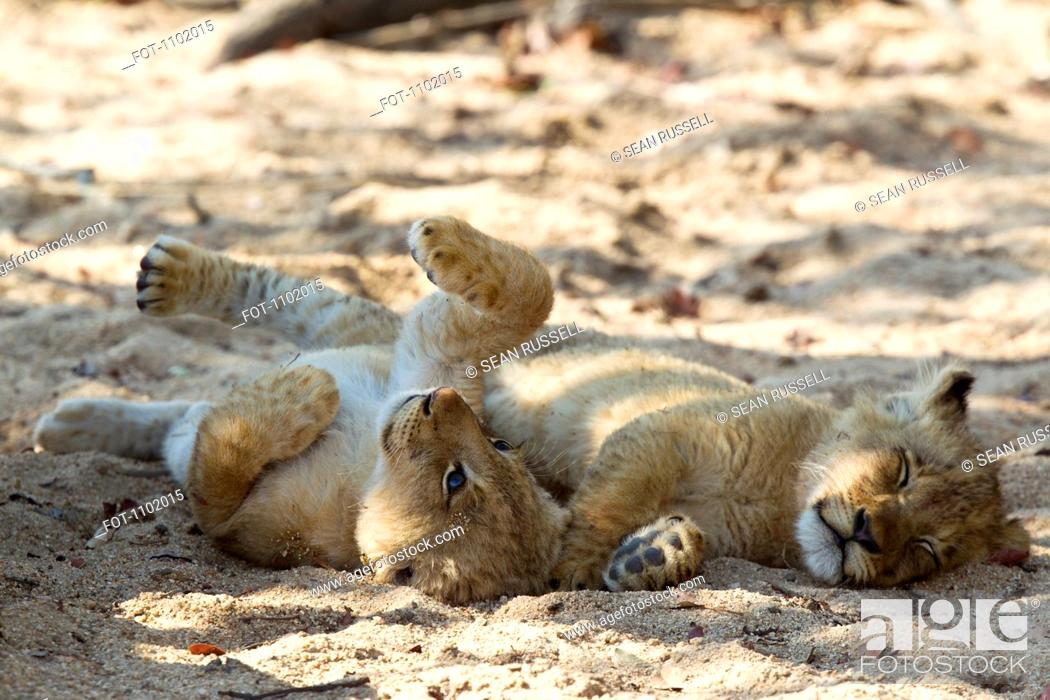 Stock Photo: A playful lion cub lying next to another cub sleeping.