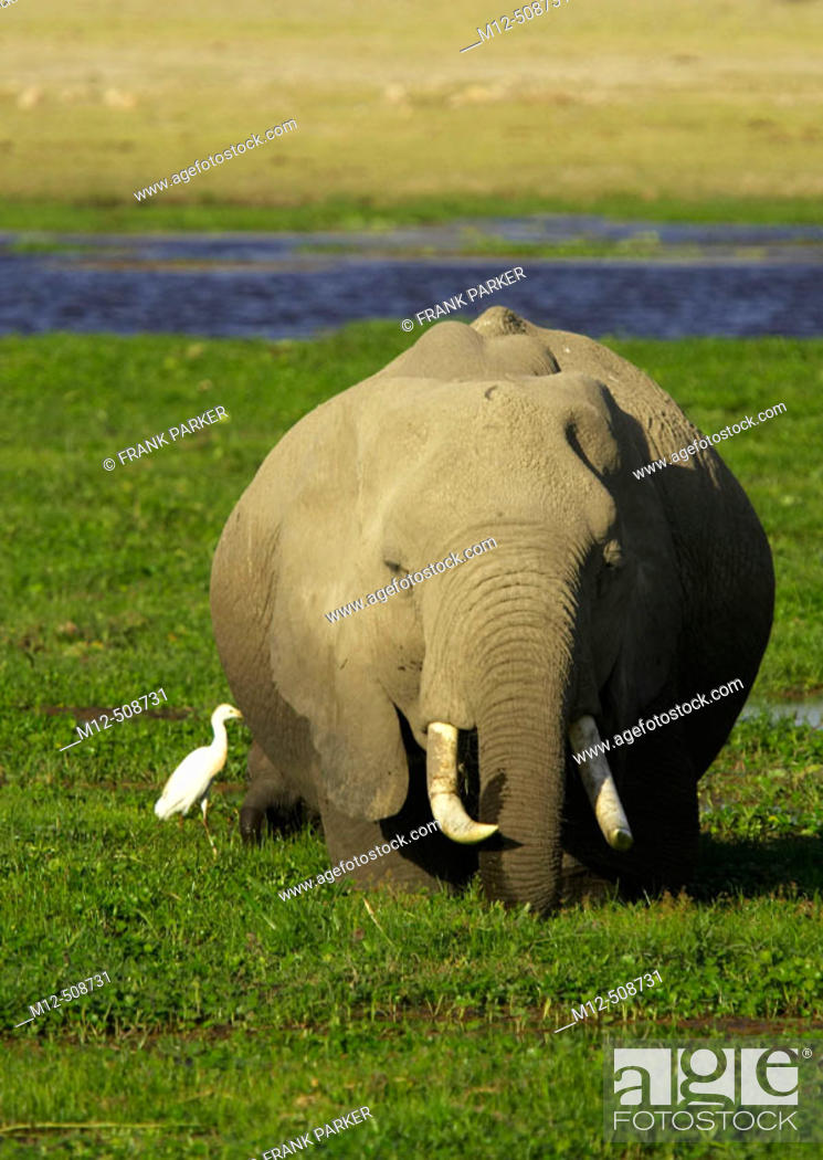 Stock Photo: African Elephant ( Loxodonta africana). Amboseli National Park. Kenya.