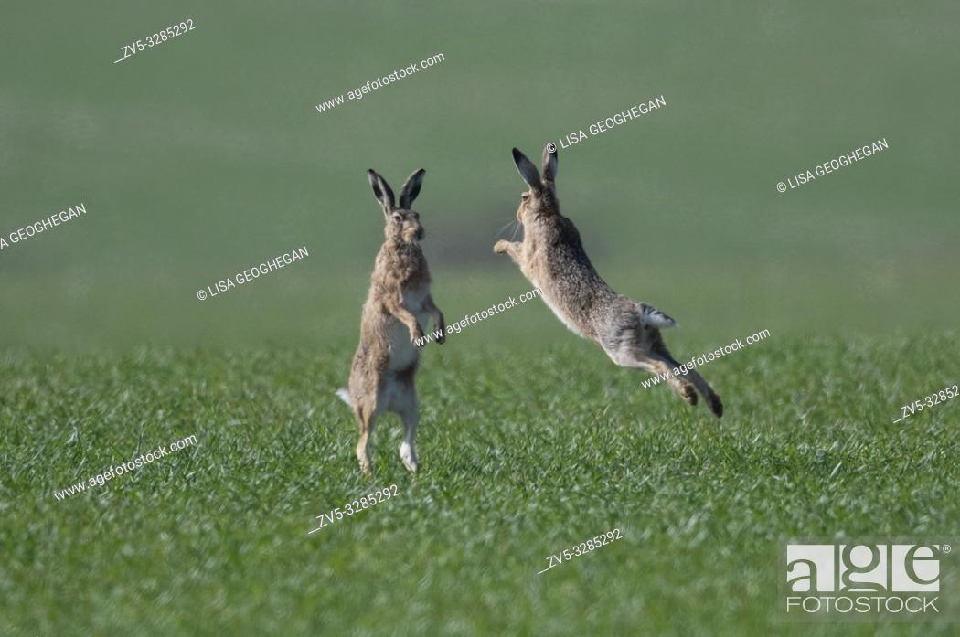 Stock Photo: European Brown Hares- Lepus europaeus box. Spring. Uk.