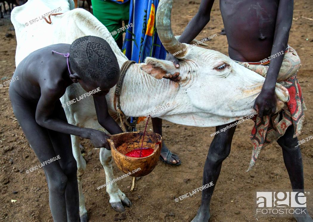 Stock Photo: Ethiopia, Omo Valley, Hana Mursi, bodi tribe men collecting blood from a cow.
