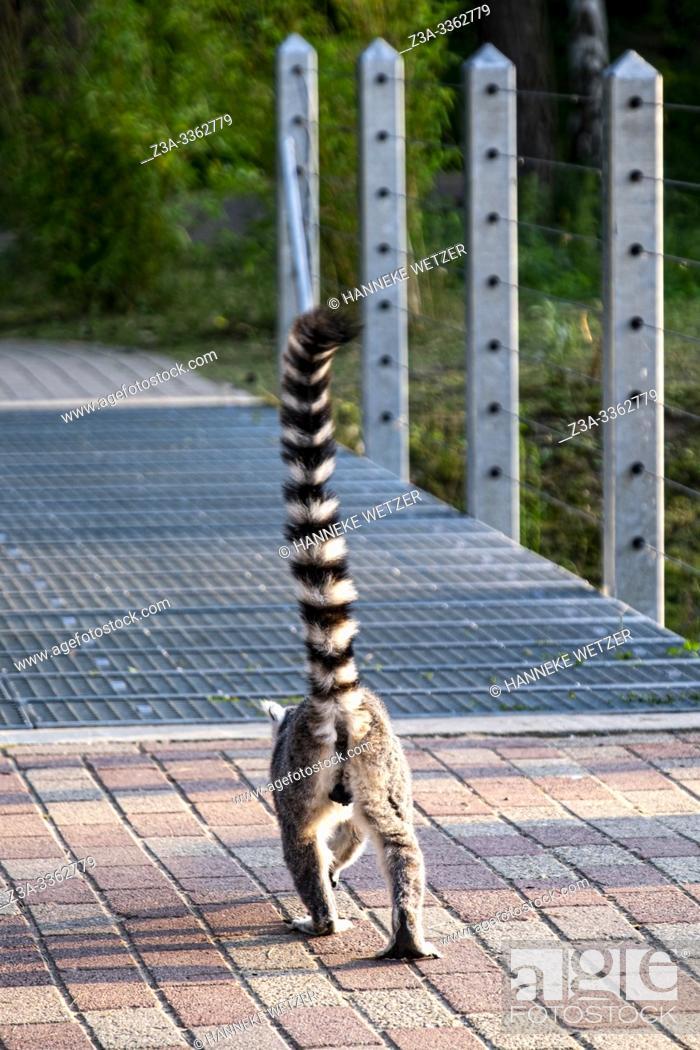 Imagen: Lemur (native to Madagascar) crossing a bridge.