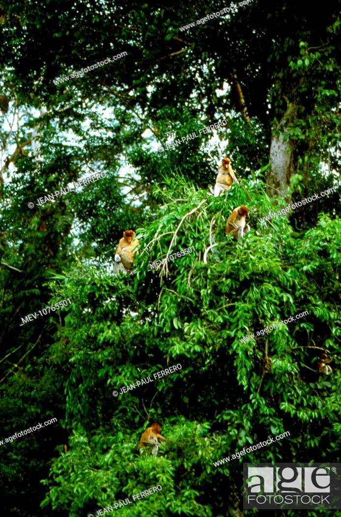 Stock Photo: Proboscis Monkey (Nasalis larvatus) Family group in tree (Nasalis larvatus).