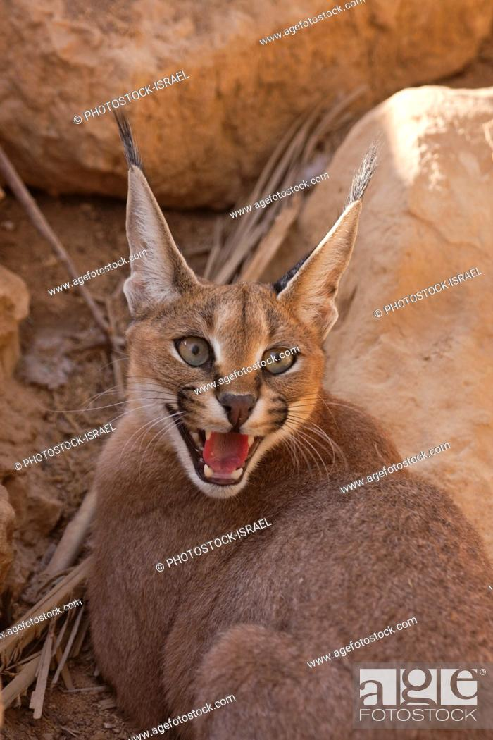 Stock Photo: Caracal (Caracal caracal), also known as Desert Lynx, is a wild cat that is distributed across Africa, central Asia and southwest Asia into India.