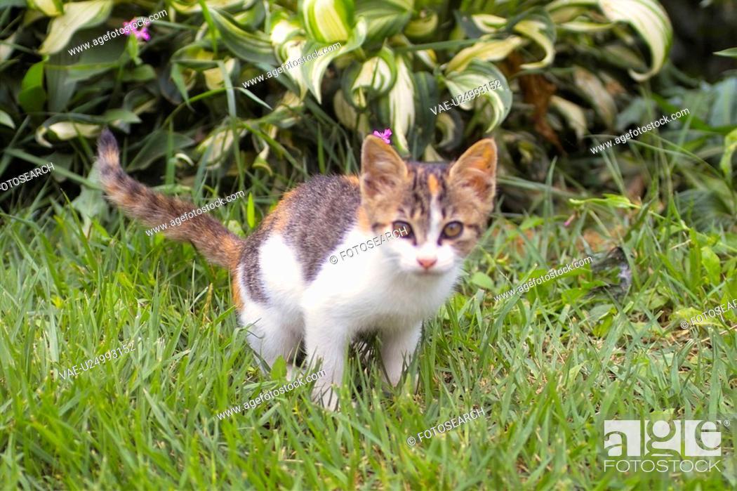 Stock Photo: cute, domestic, furry, kitty, kitten, house pet, feline.