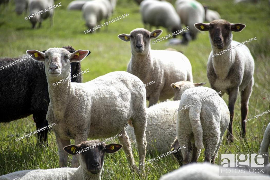 Stock Photo: 06 June 2020, Mecklenburg-Western Pomerania, Hiddensee: Sheep stand on a meadow near the fishing village Neuendorf. Photo: Stephan Schulz/dpa-Zentralbild/ZB.