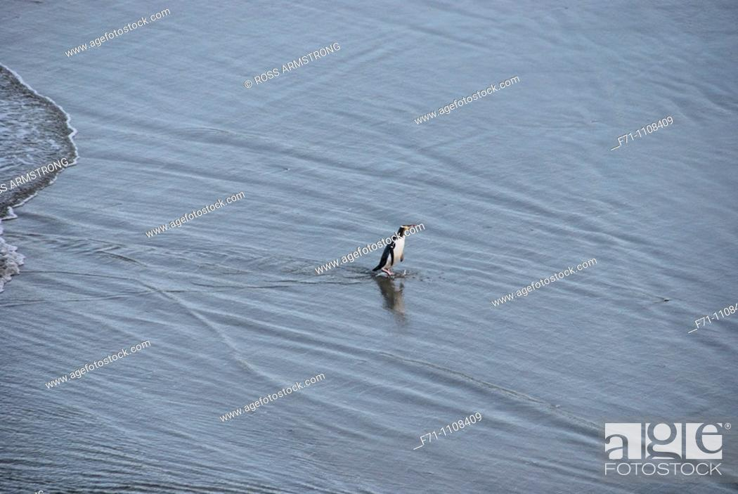 Stock Photo: Yellow-eyed Penguin Megadyptes antipodes or Hoiho ashore in the evening  Otago Peninsula  New Zealand  South Pacific Ocean.