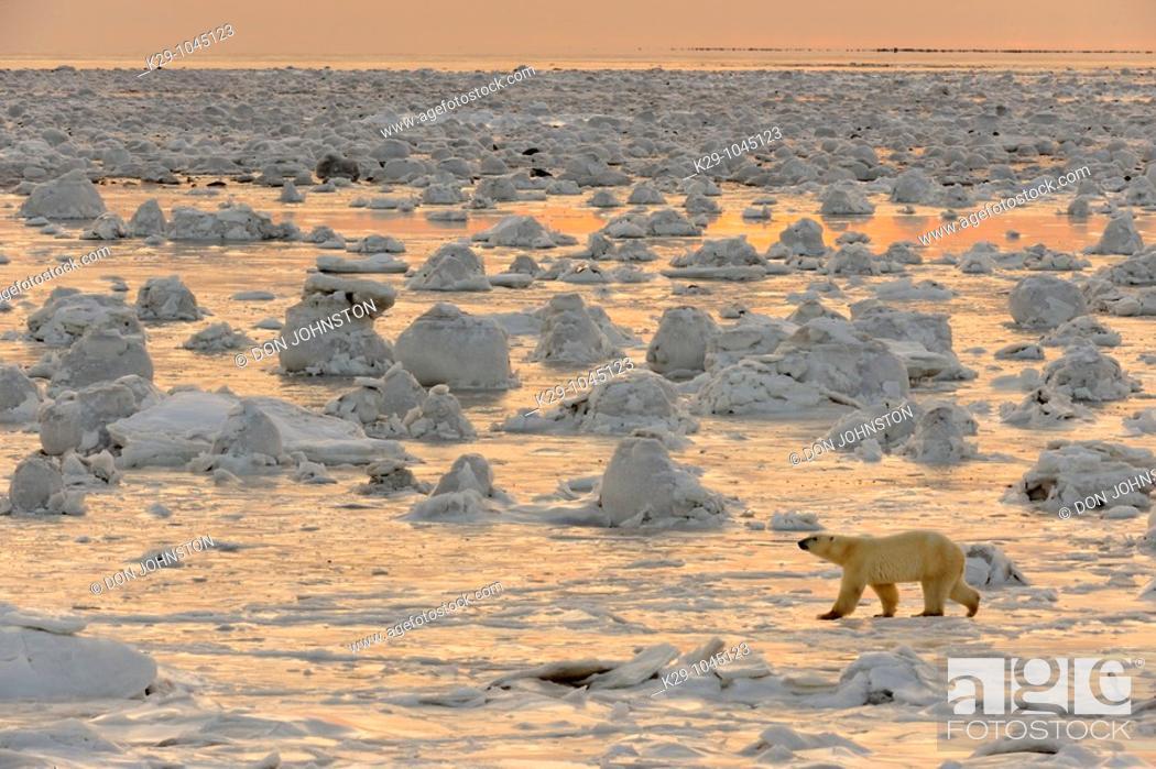Stock Photo: Polar bear Ursus maritimus walking on newly forming Hudson Bay ice.