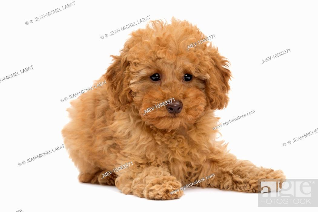 Dog Apricot Miniature Poodle Puppy Stock Photo Picture And Rights Managed Image Pic Mev 10983371 Agefotostock