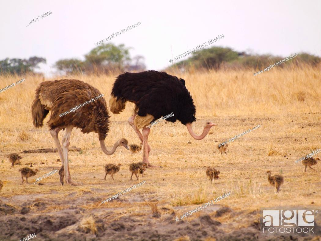 Stock Photo: two adult ostriches Struthio camelus and nine ostrich chicks in meadow of Tarangire National Park, Tanzania.