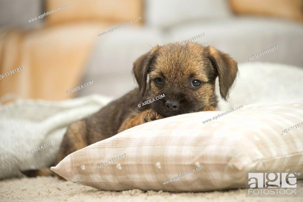 Stock Photo: Border Terrier Dog, puppy.