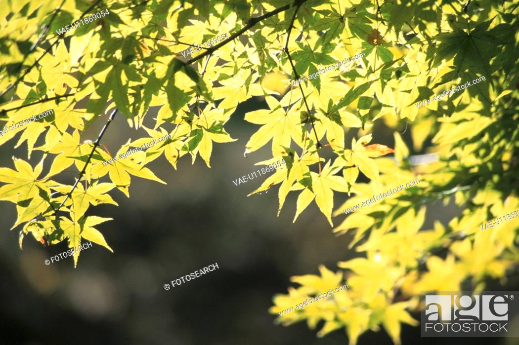 Stock Photo: Maple Leaves In Sunlight.