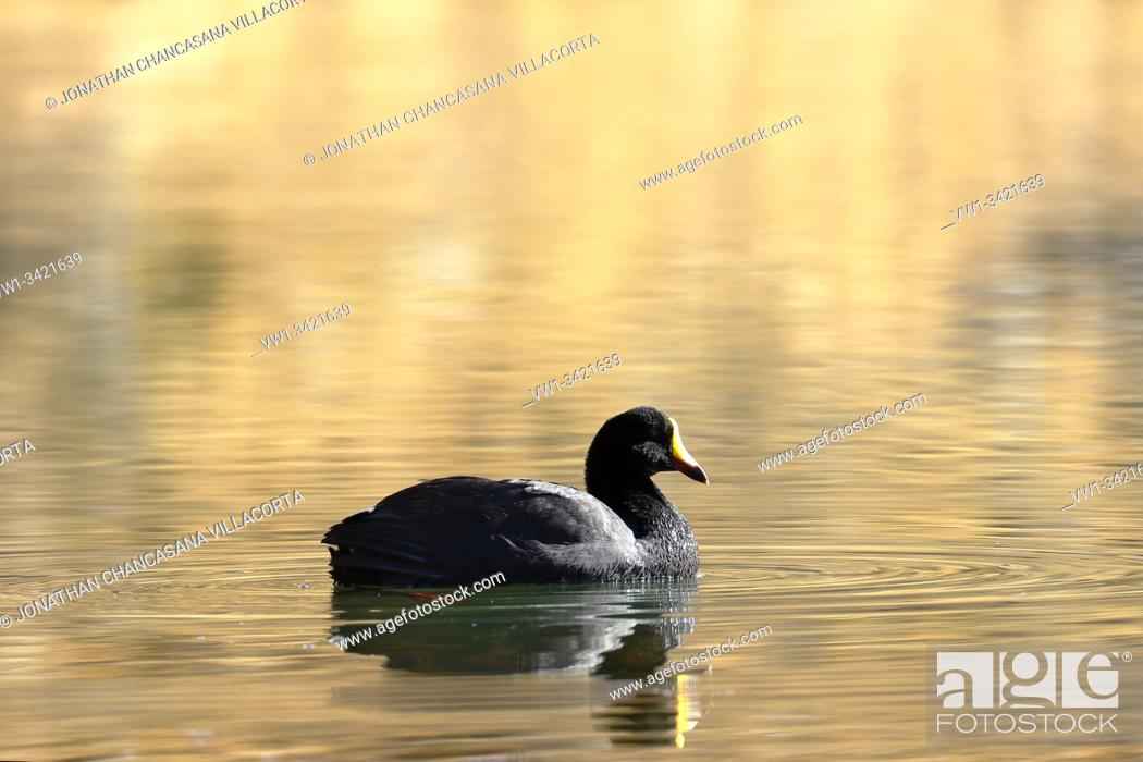 Stock Photo: Giant coot (Fulica gigantea) sighted in its natural environment at 4000 masl in an Andean lagoon while swimming calmly. Peru.