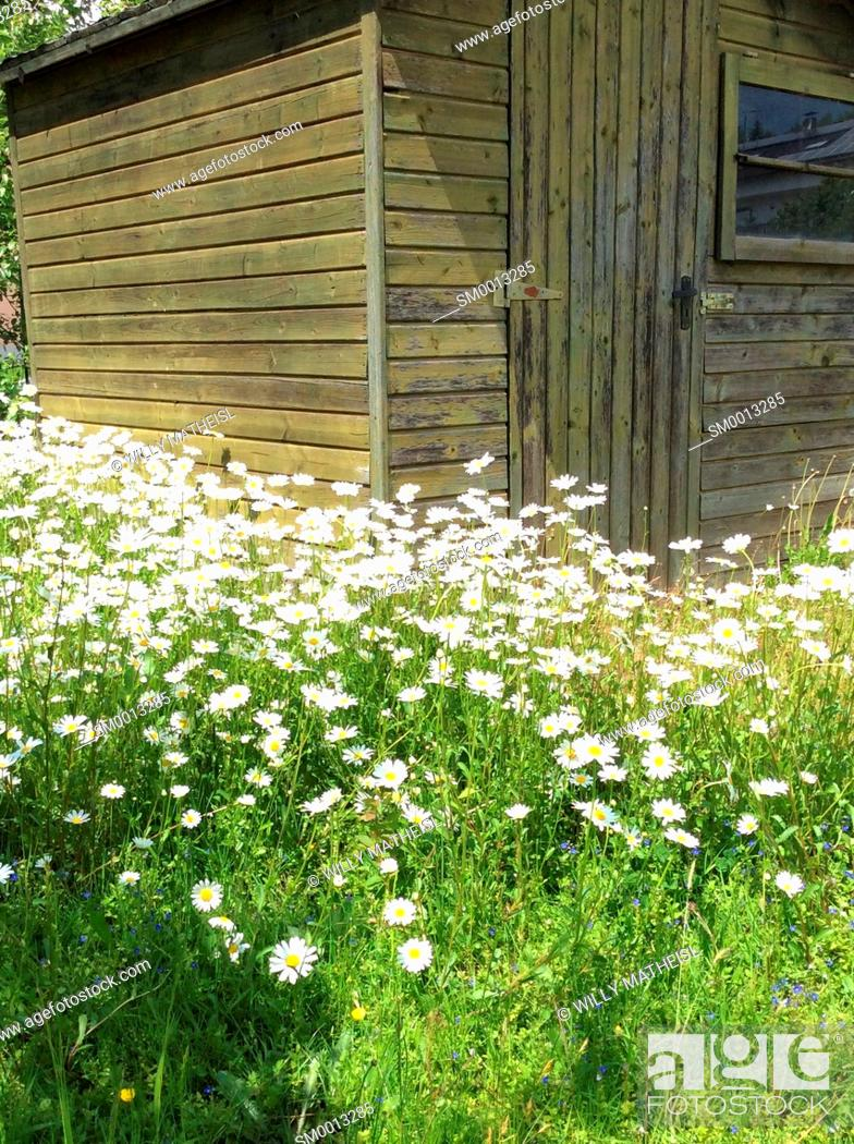 Imagen: field with marguerite flowers and wooden cottage, Bavaria, Germany, Europe.