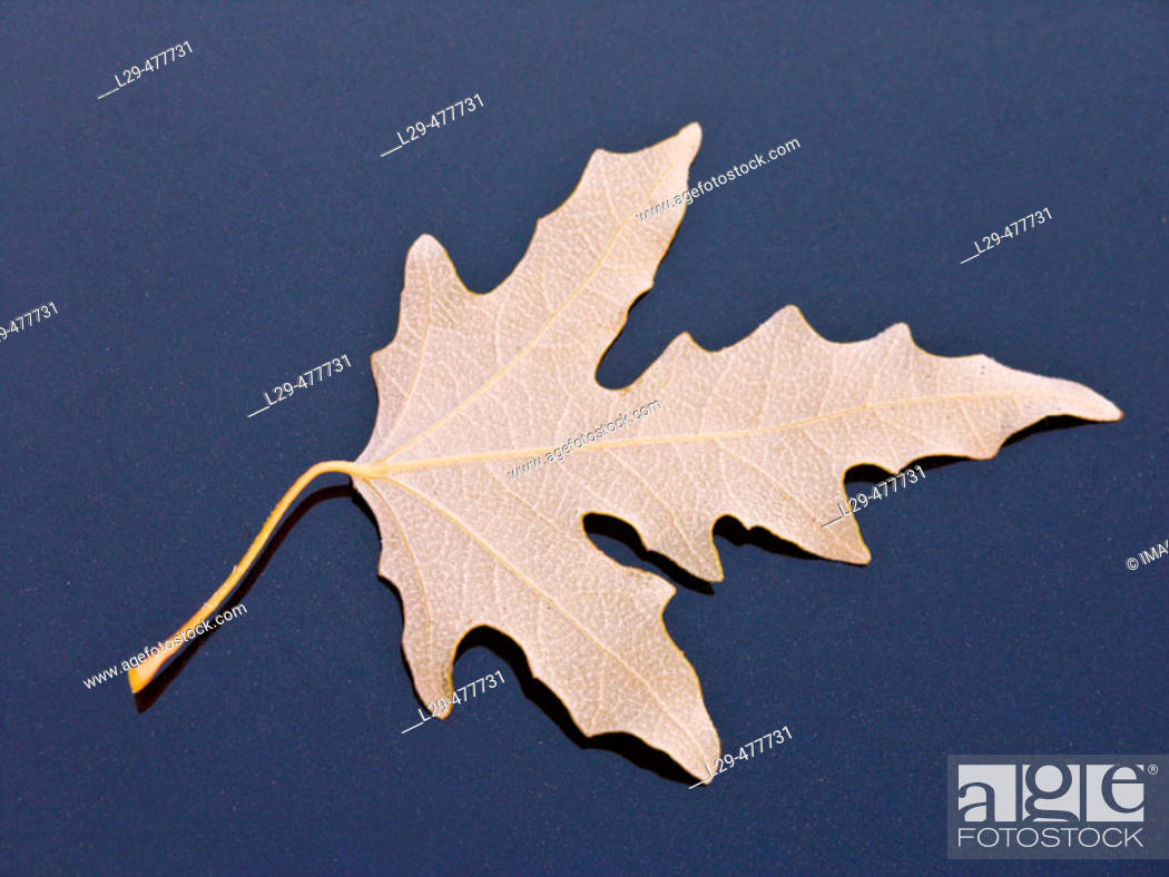 Stock Photo: White poplar leave (Populus alba).