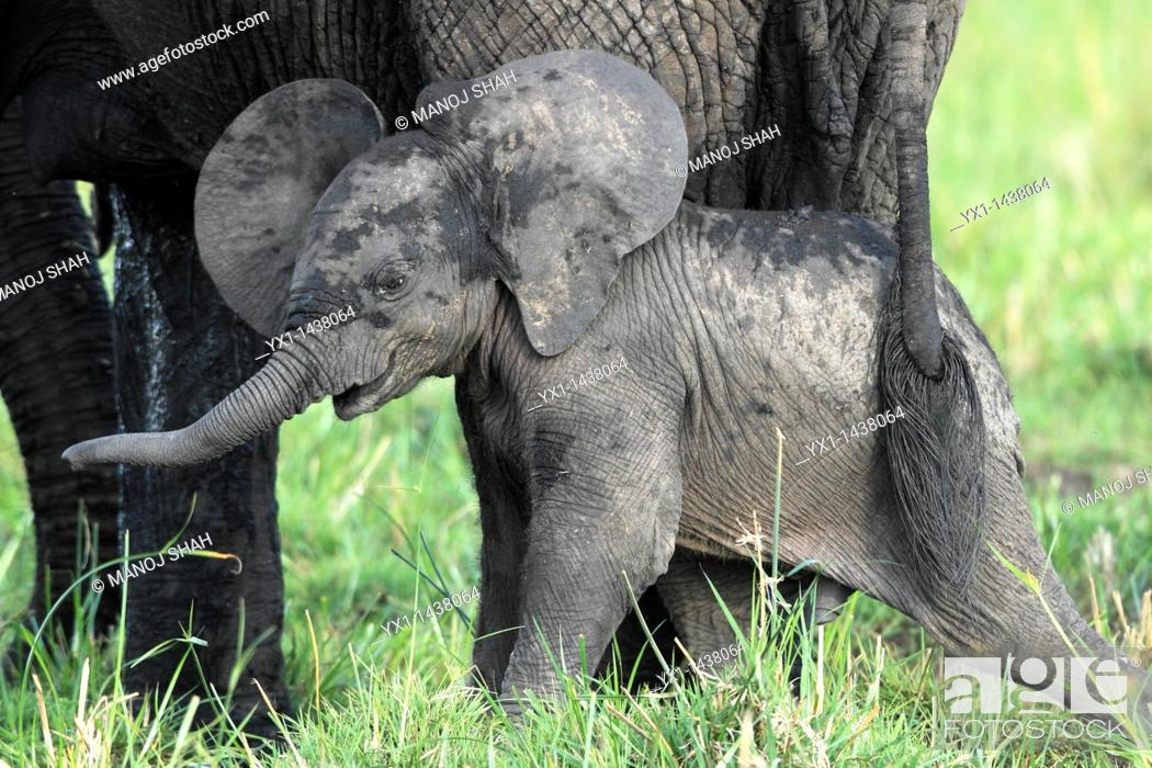 Stock Photo: The baby elephant is always within about 50 meters of the mother, it goes where the mother goes. The bond between the two is extremely strong.