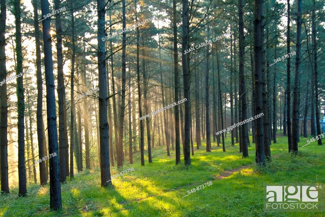 Stock Photo: Pine Forest at dawn Mallabia. Vizcaya. Basque Country.