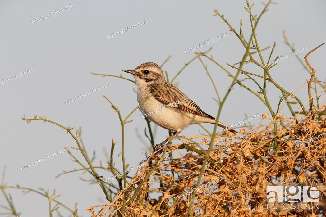 Stock Photo: White-browed Bushchat (Saxicola macrorhynchus) adult male, moulting into breeding plumage, perched on stems, Desert N.P., Thar Desert, Rajasthan, India.