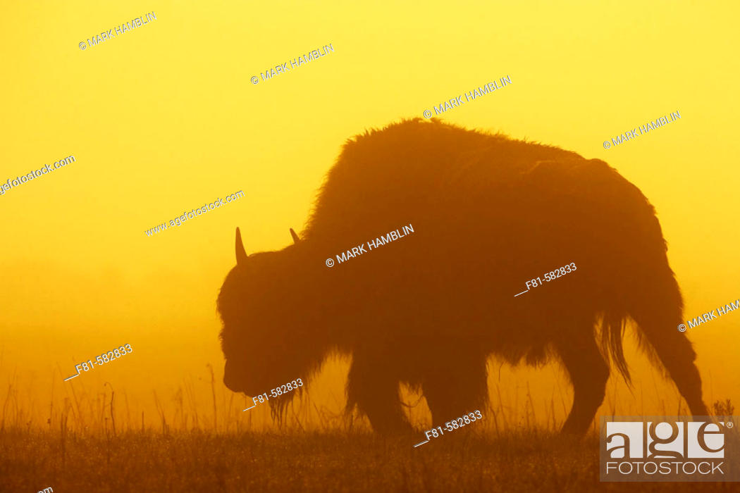 Stock Photo: Bison (Bison bison) in mist at sunrise. Yellowstone National Park, USA.