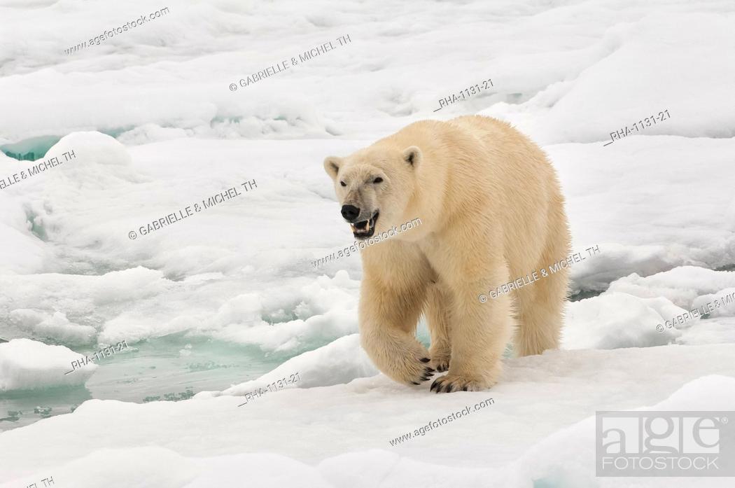Photo de stock: Female polar bear (Ursus maritimus), Svalbard Archipelago, Barents Sea, Norway, Scandinavia, Europe.