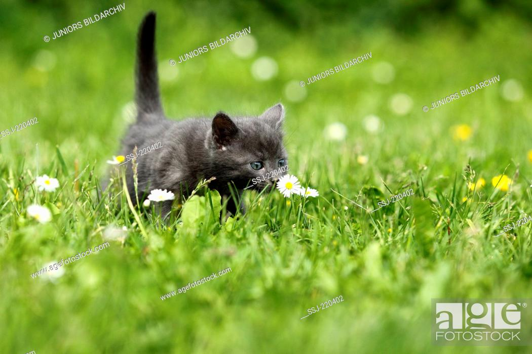 Stock Photo: European Shorthair. Gray kitten (5 weeks old) in grass, sniffing at a Daisy. Germany.