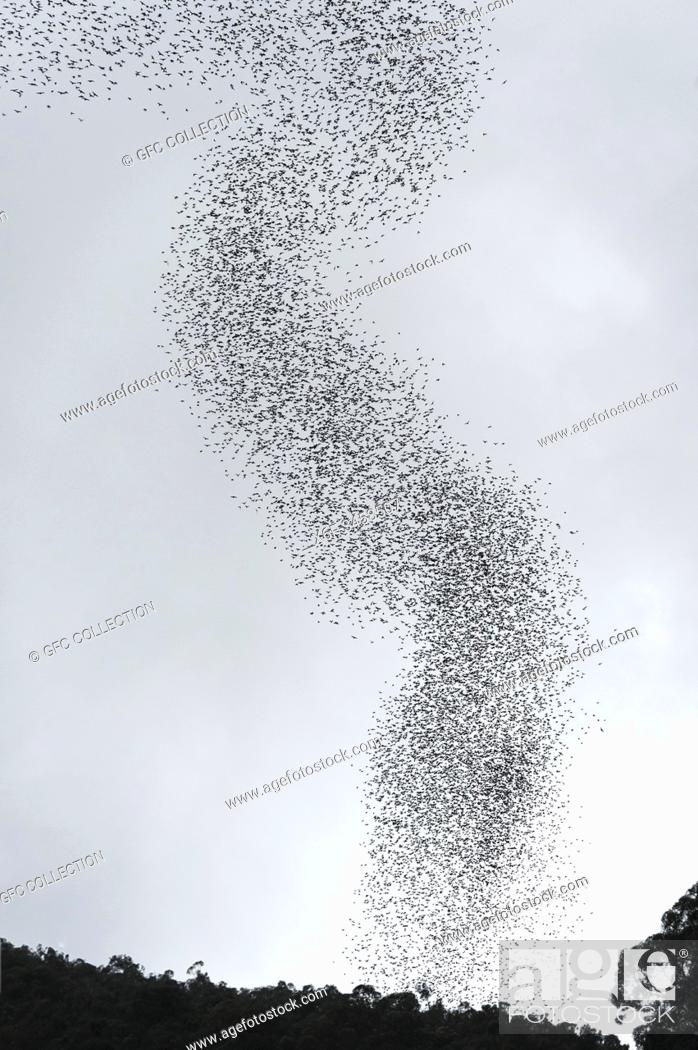 Stock Photo: Millions of bats swarming out from the Deer Cave to head to their feeding grounds, Gunung Mulu National Park, Sarawak, Borneo, Malaysia.