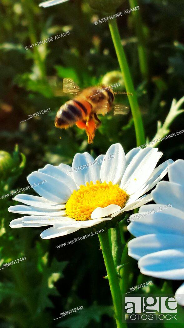 Photo de stock: Pollinating Bee.