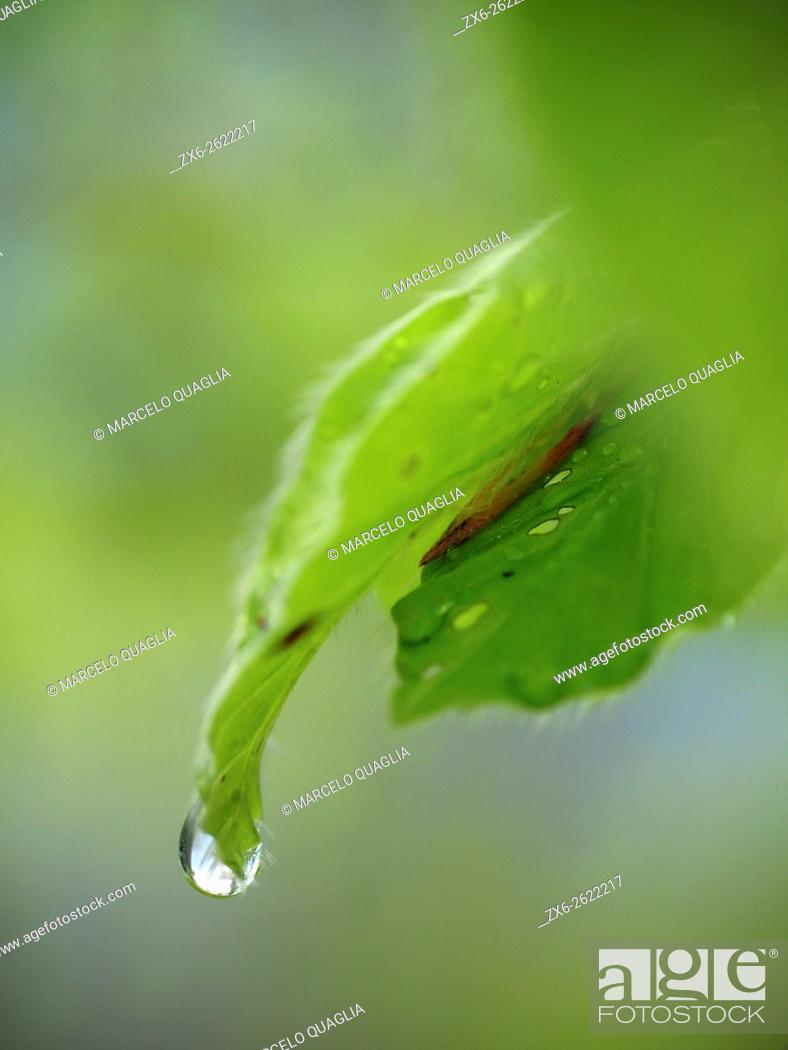 Stock Photo: Rain water droplet over beech tree leaf (Fagus sylvatica). Montseny Natural Park. Barcelona province, Catalonia, Spain.