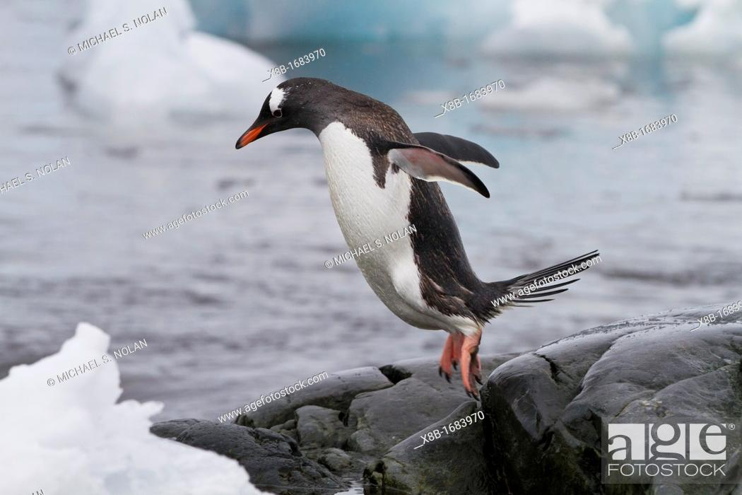 Imagen: Adult gentoo penguin Pygoscelis papua returning from the sea at Booth Island, Antarctica, Southern Ocean.