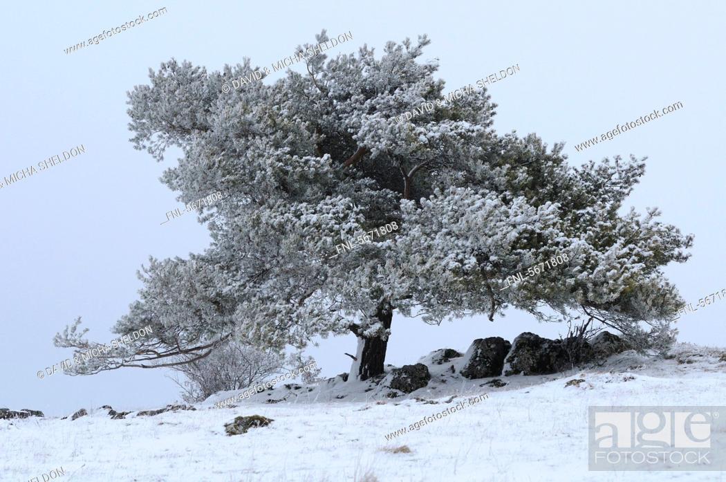 Stock Photo: Scots Pine Pinus sylvestris in winter landscape.