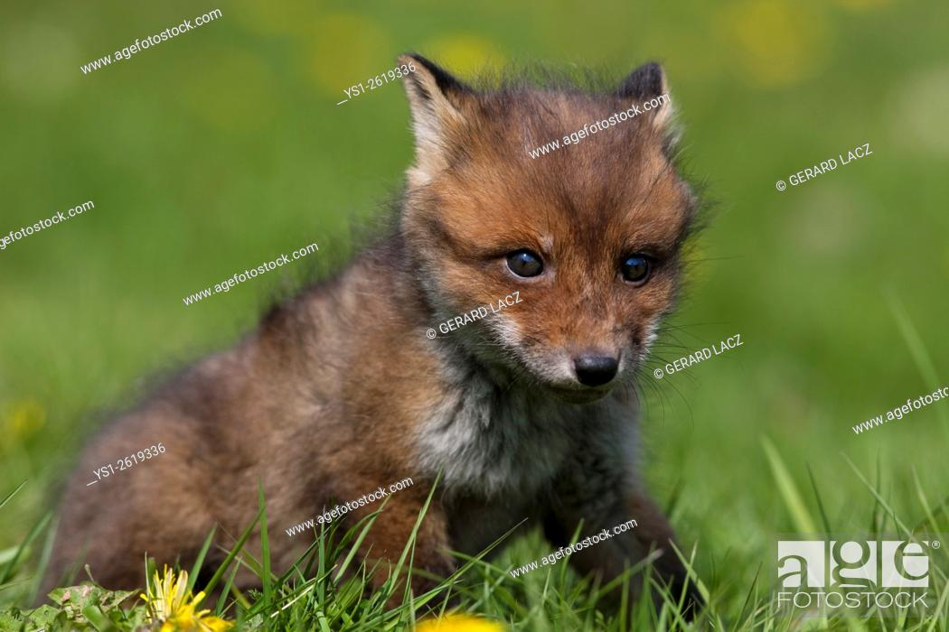 Imagen: Red Fox, vulpes vulpes, Cub standing in Flowers, Normandy.