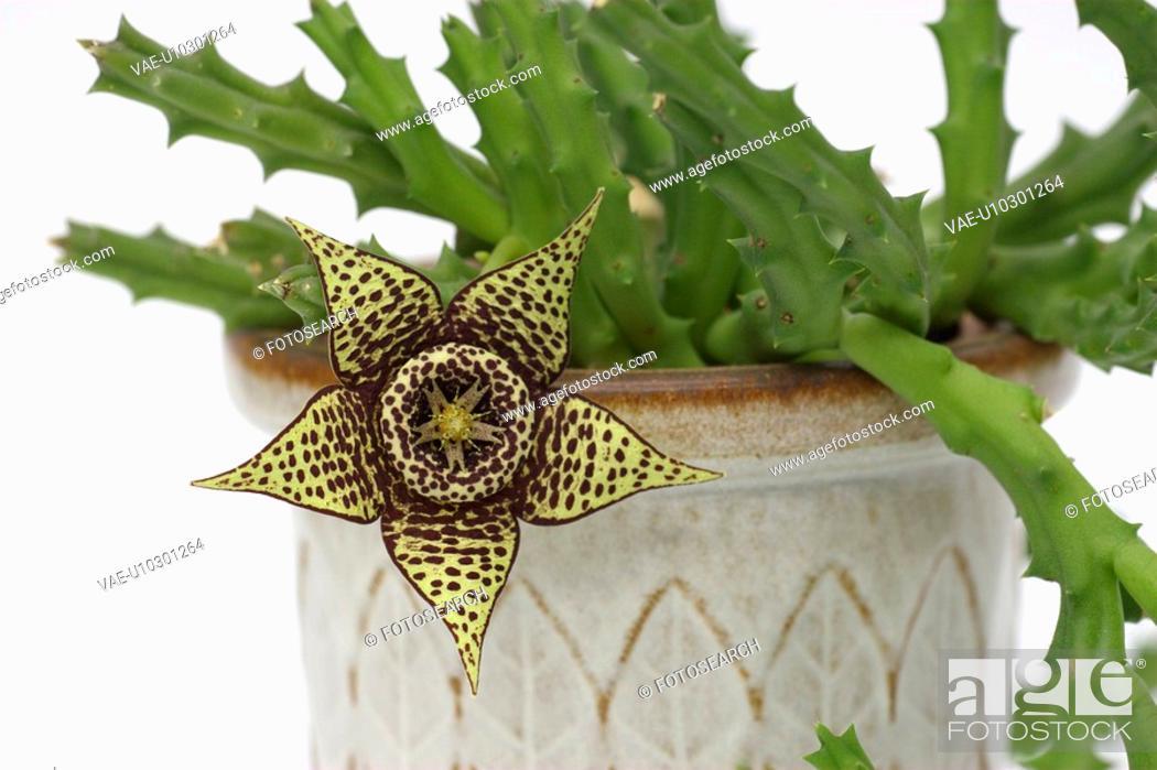 Stock Photo: bloom, kokardenblume, asclepiadoideae, apocynaceae, alexandra, aasblume.