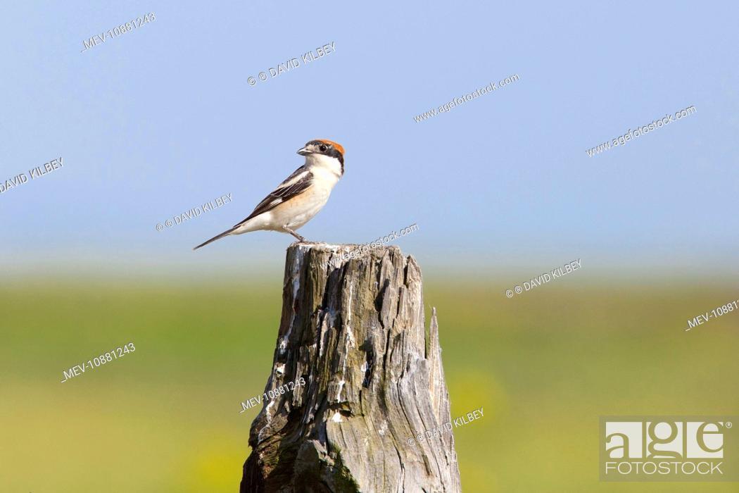 Stock Photo: Woodchat Shrike - single adult female perching on post (Lanius senator). Southern Spain.