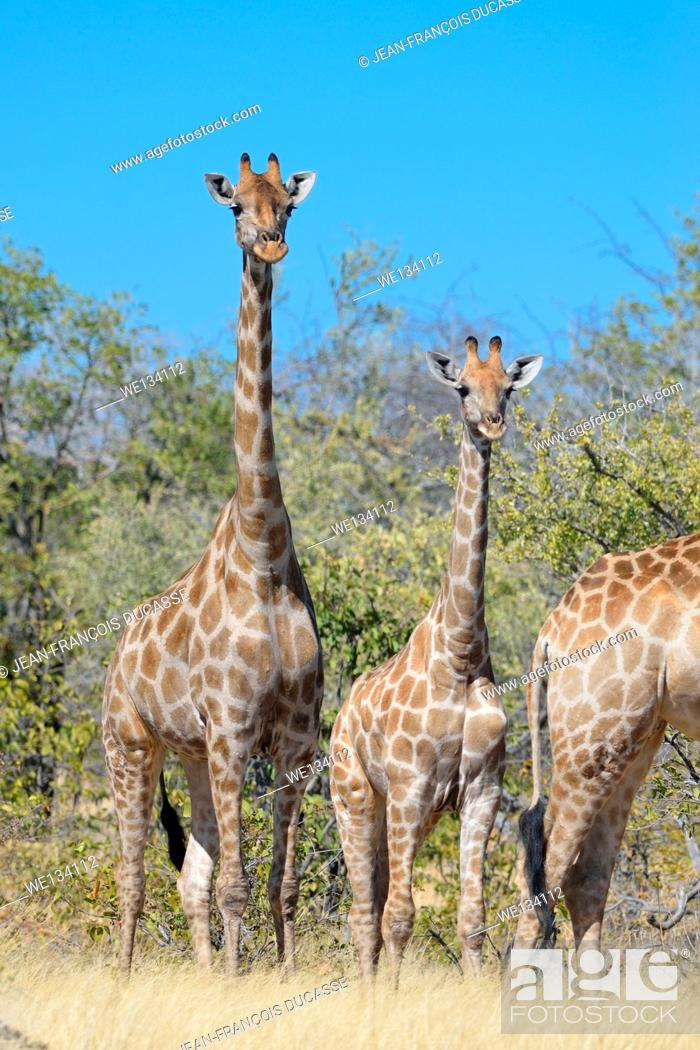 Stock Photo: Giraffes (Giraffa camelopardalis), adult, young and baby, in dry grass, Etosha National Park, Namibia, Africa.