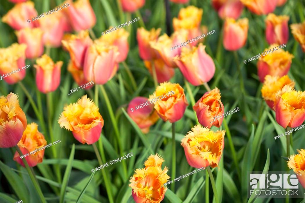 Stock Photo: Orange Tulip Field, Netherlands.