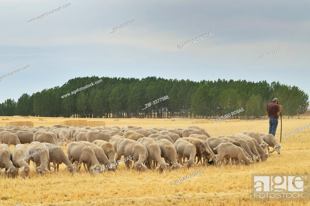 Stock Photo: Shepherd with sheeps in Martín Miguel, Segovia. Spain.