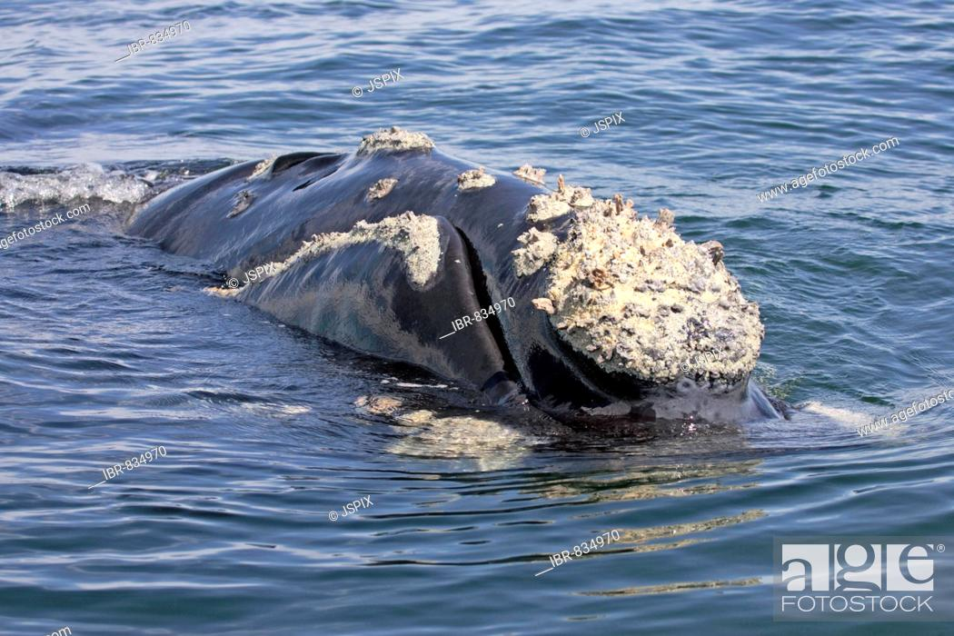 Stock Photo: Southern Right Whale (Balaena glacialis) adult, swimming, head, Hermanus, South Africa, Africa.