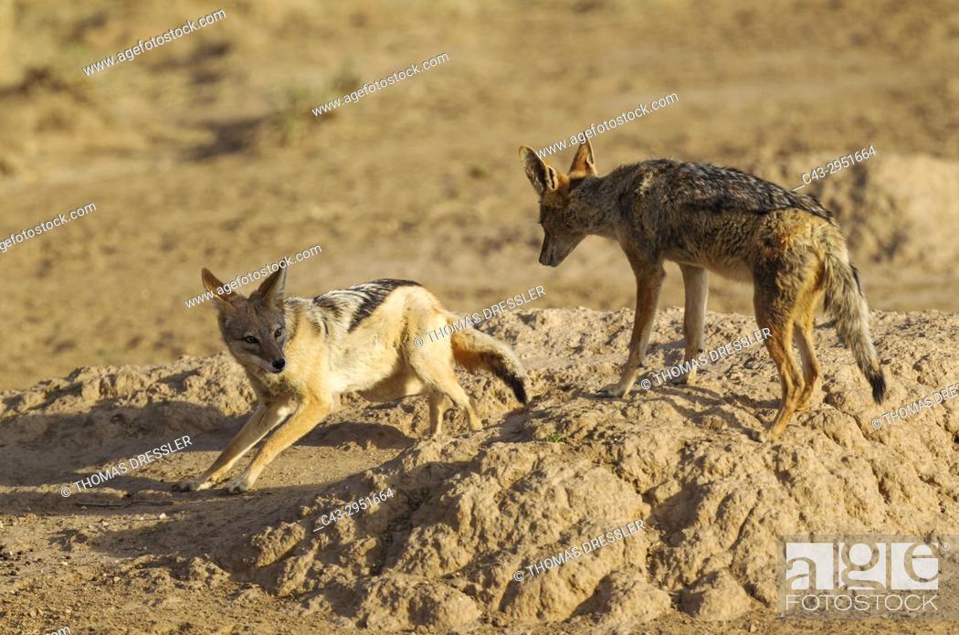 Stock Photo: Black-backed Jackal (Canis mesomelas). Playful. Kalahari Desert, Kgalagadi Transfrontier Park, South Africa.