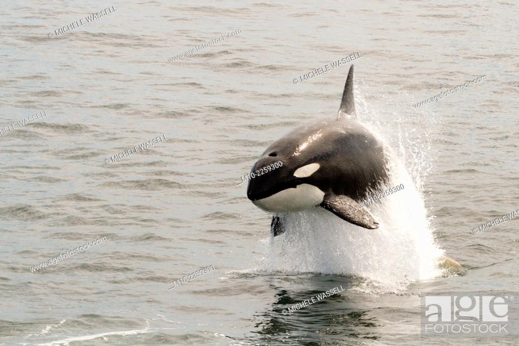 Stock Photo: Killer Whales (Orcas)chasing and attacking a Pacific White Sided Dolphin on Monterey Bay, California, USA.